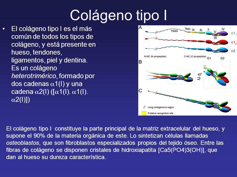 El colágeno tipo I es el más común de todos los tipos de colágeno